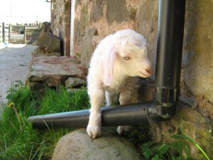 Baby goat trying to navigate round the drain pipe